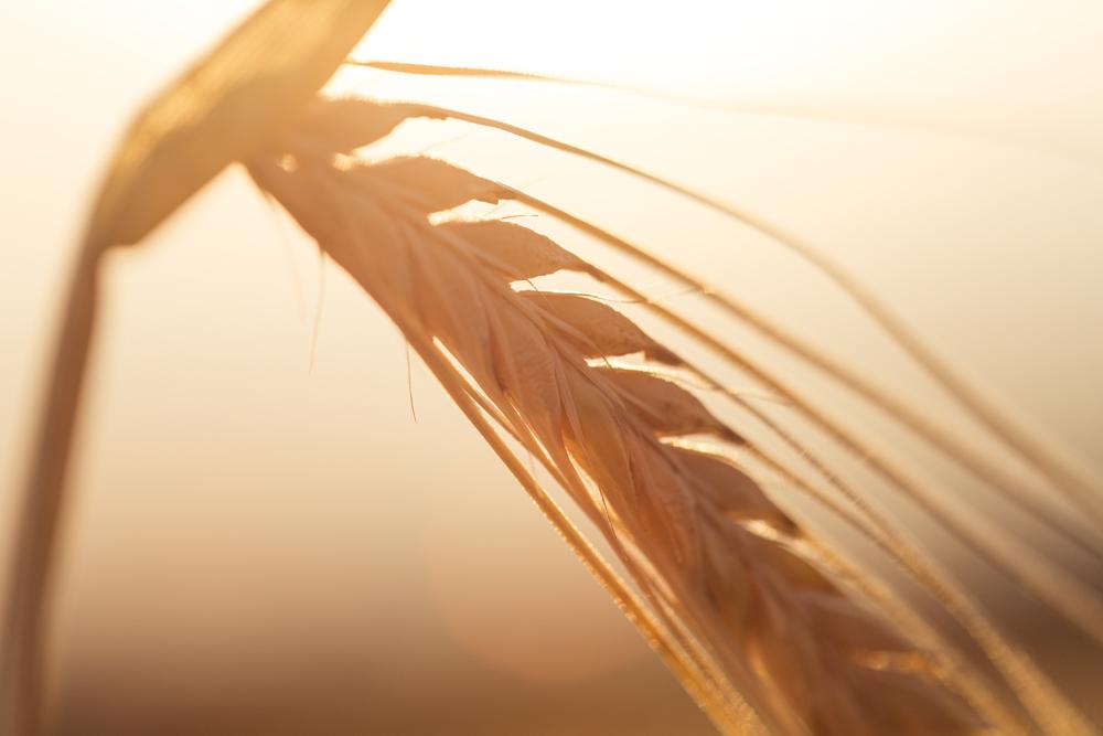 Récolte du blé, moisson